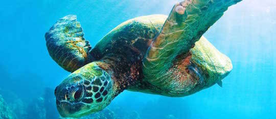 Due largely to human interference, sea turtles are some of the most endangered species in the world.