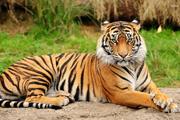 Wild Things: Tigers