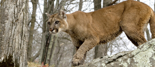 Feature cougar feat