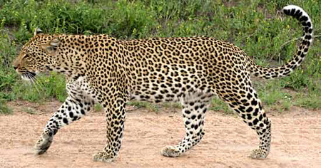 Leopards have spotted fur