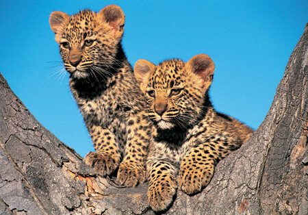 Leopard Cubs!