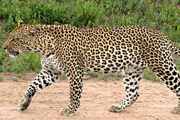 Wild Things: Leopards
