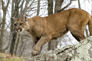 Wild Things: Cougars