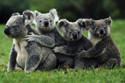 Wild Things: Koalas