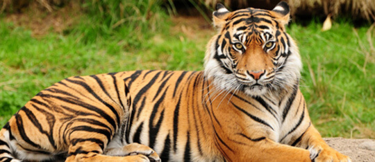 Feature tiger feat