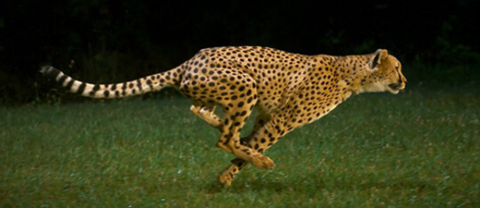 Feature cheeta feat