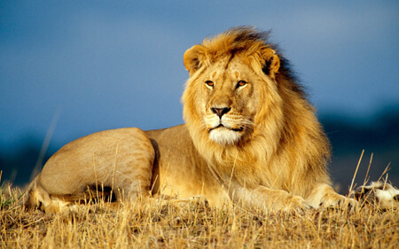 Lions are known for their beautiful manes