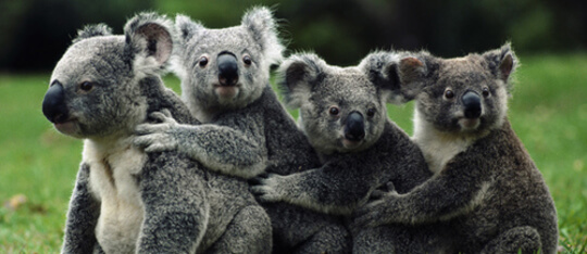Feature koala feat