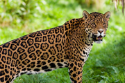 Wild Things: Jaguars