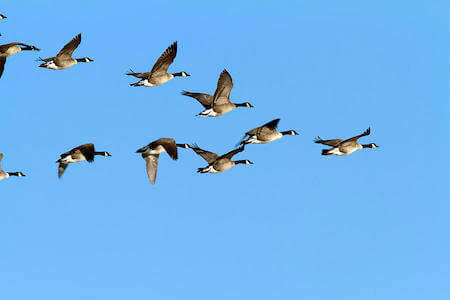 Geese instinctively know to fly in a V formation