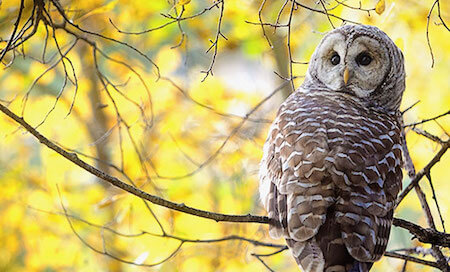 Look how far this owl can turn its head around!