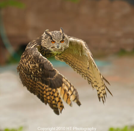 Check out the wingspan on this Eurasian eagle owl!