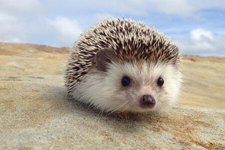Hedghogs are named after the way they eat