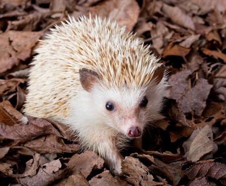 Woodlands are a natural hedgehog habitat