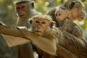 Disneynature and Tina Fey Celebrate Monkey Kingdom