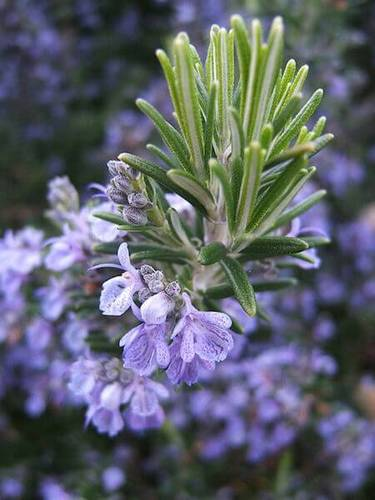 Just a tip - rosemary tastes great with chicken!