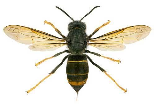Hornet wingspan