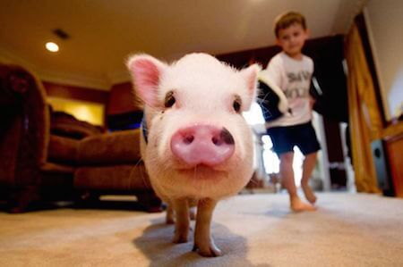 Pot-bellied pigs have become very popular as family pets.