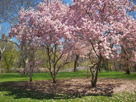 Check out these cherry trees blooming in Central Park!