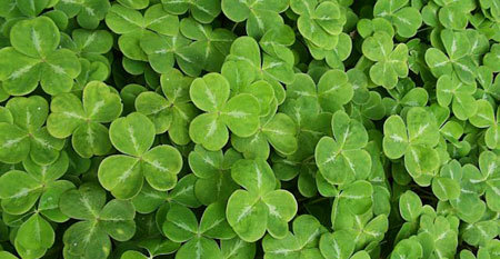 Clovers are a sure sign of St. Patrick's Day!