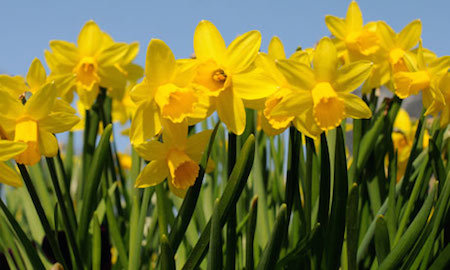 Daffodils are a sure sign of spring!