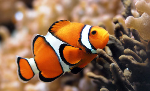 Clown fish facts care information finding nemo for Clown fish habitat