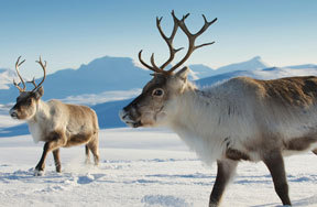 Learn all about reindeer with Kidzworld!
