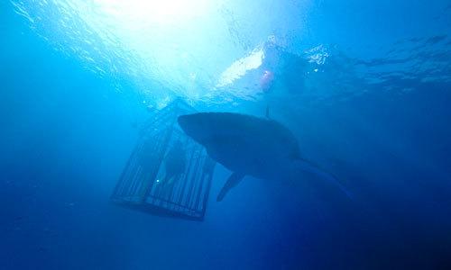A big shark circles the cage
