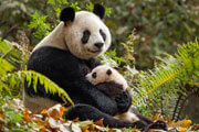 Disneynature Born In China Blu-ray Review