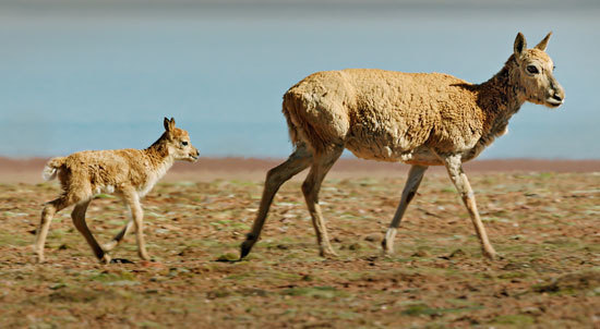 Baby antelope can run almost as fast as mom