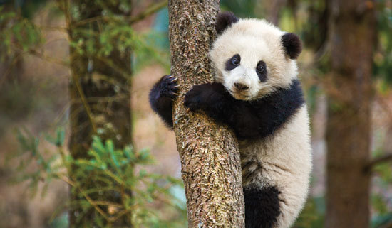 Baby panda tries to climb a tree