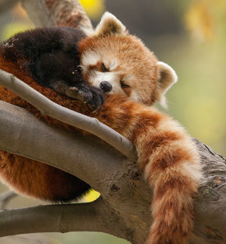 Red panda snoozes