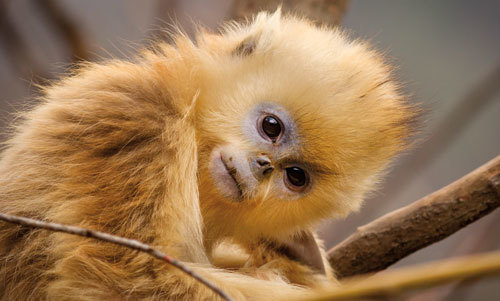 A fluffy, golden monkey