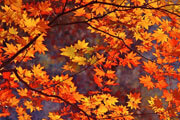 Preview autumn leaves pre