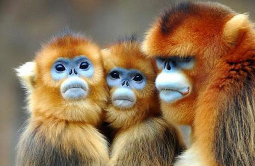Golden Snub Nose Monkey