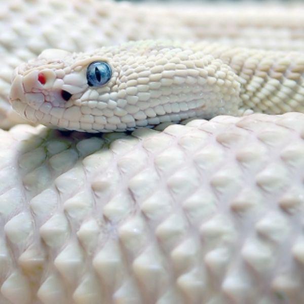 Albino Anaconda Dashbo...