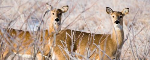 Second Deer Motorcyle Collision in 24 Hours