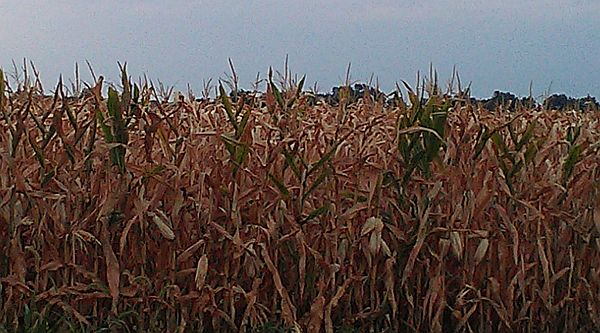 MU Extension recommends bailing corn silage amid drought concerns