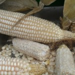 White Corn from GR Farms gets shipped as far as Mexico.