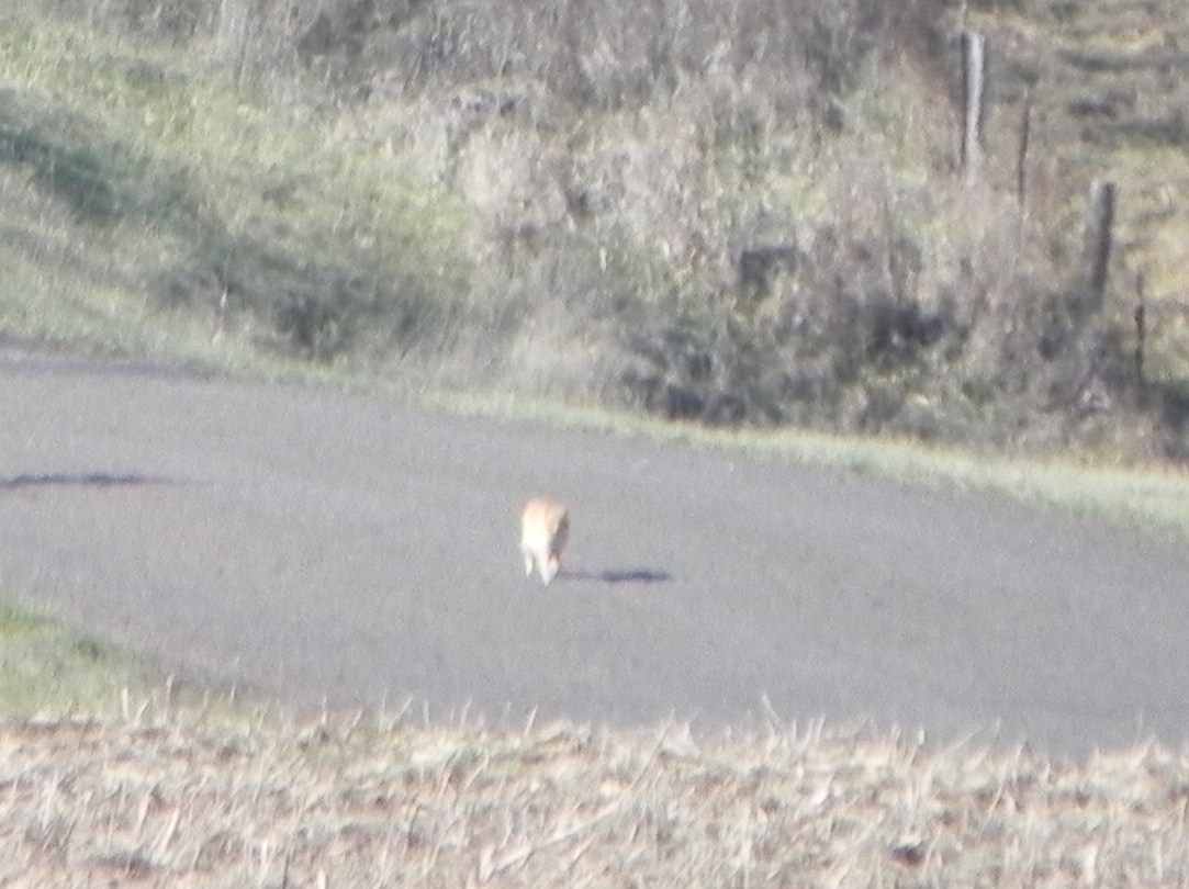 Mountain Lion Sighting in Jackson Co.