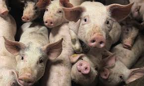 Hog production approaching packer capacity levels