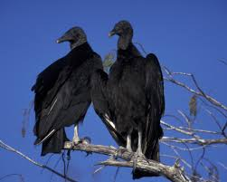 Black vultures causing problems for cattle producers