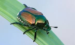 Japanese beetles a problem for farmers during the summer months