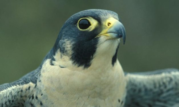 Back from the brink: Peregrine Falcon populations on the rise in Missouri
