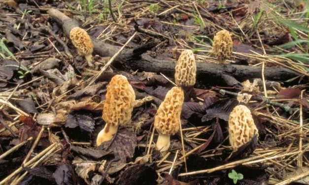 When searching for Morels in Missouri, look for specific clues
