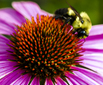 Echinacea_bee