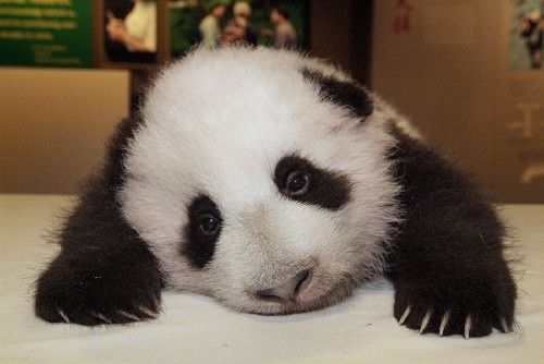 sad panda!
