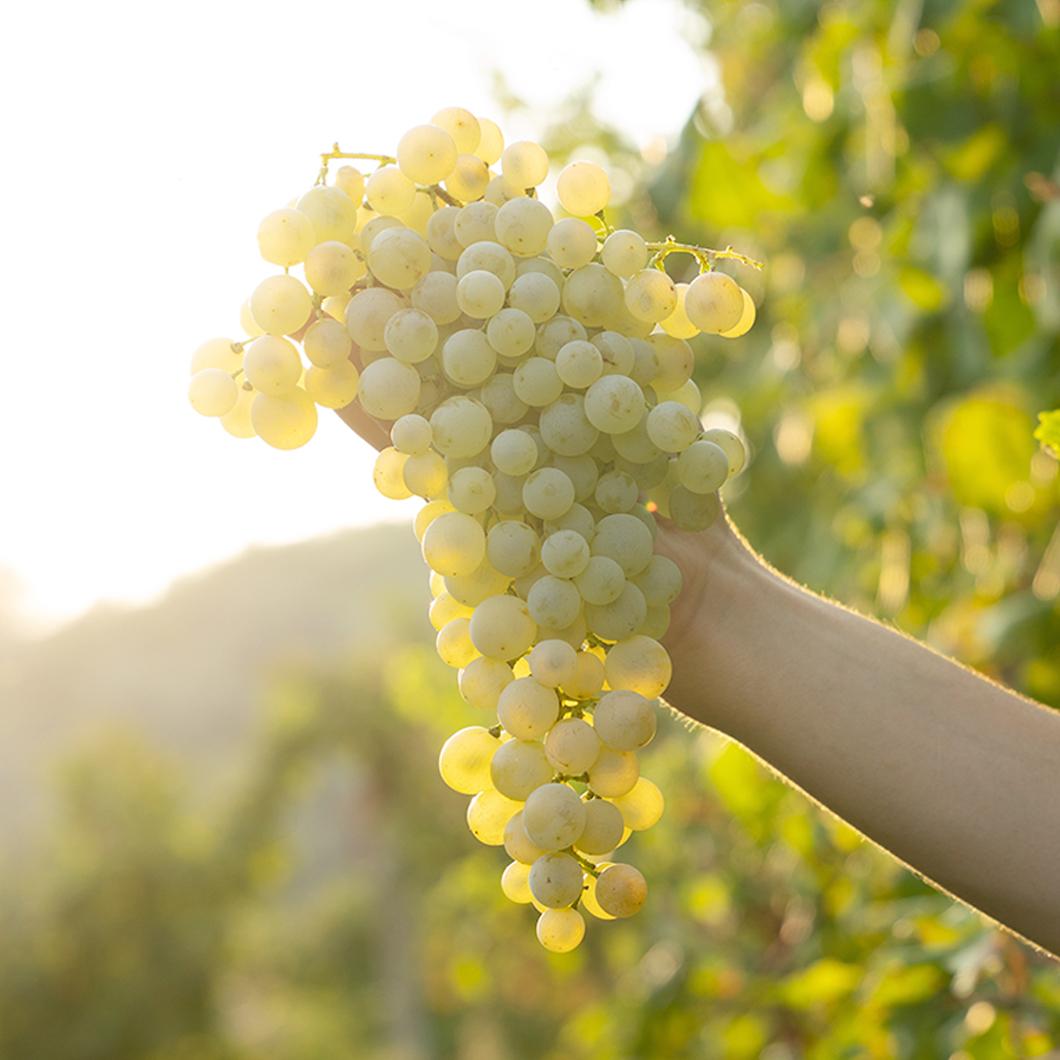 Glera grapes