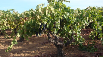Forchini Old Vine Zinfandel planted in 1907