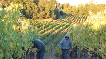 Chambers Vineyard hand picking petit verdot